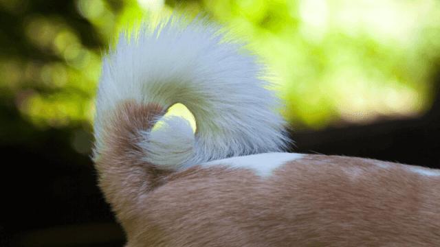 犬がしっぽを下向きにして、勢いよく振るのはなぜ?-感情を読み解く